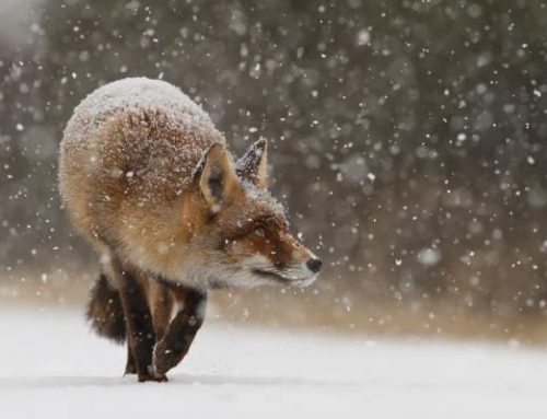 The Thought Fox Ted Hughes Analysis